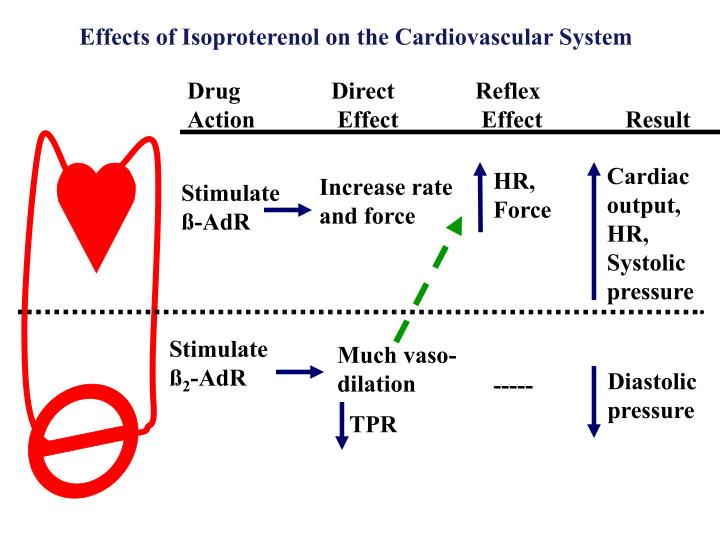 Effects of Isoproterenol on the Cardiovascular System
