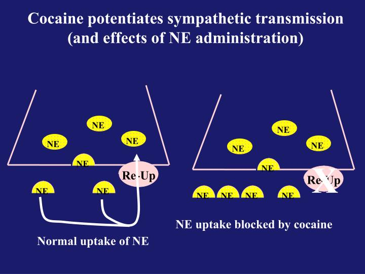 Cocaine potentiates sympathetic transmission (and effects of NE administration)