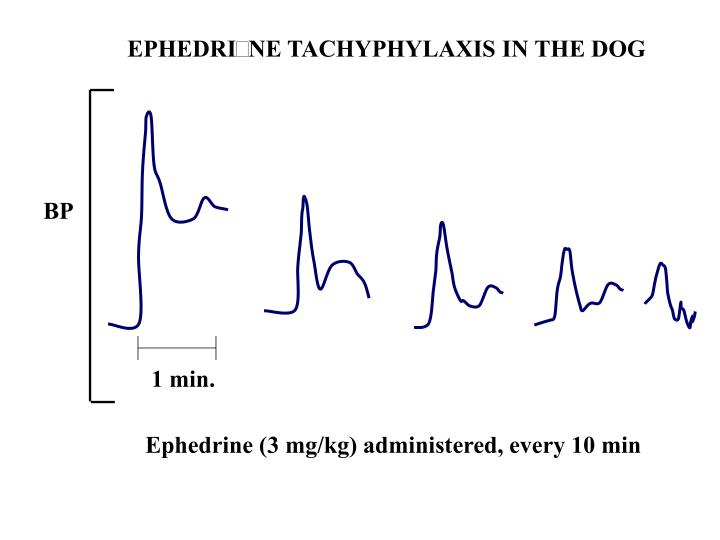 EPHEDRINE TACHYPHYLAXIS IN THE DOG