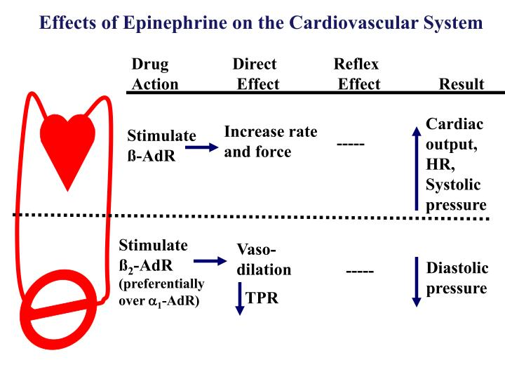 Effects of Epinephrine on the Cardiovascular System