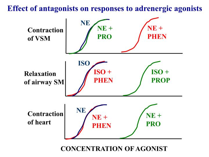 Effect of antagonists on responses to adrenergic agonists
