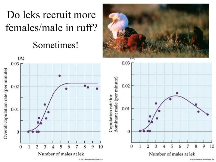 Do leks recruit more females/male in ruff?