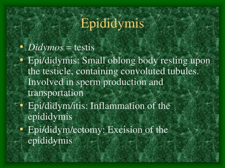 Epididymis