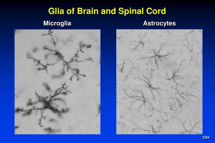 Glia of Brain and Spinal Cord
