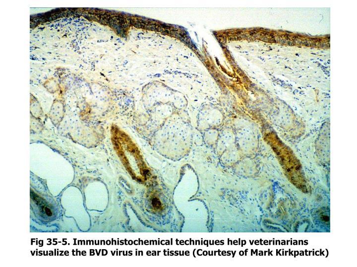 Fig 35-5. Immunohistochemical techniques help veterinarians visualize the BVD virus in ear tissue (Courtesy of Mark Kirkpatrick)