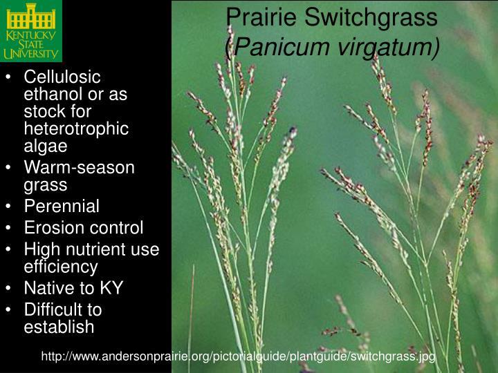 Prairie Switchgrass