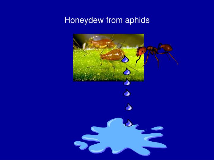 Honeydew from aphids