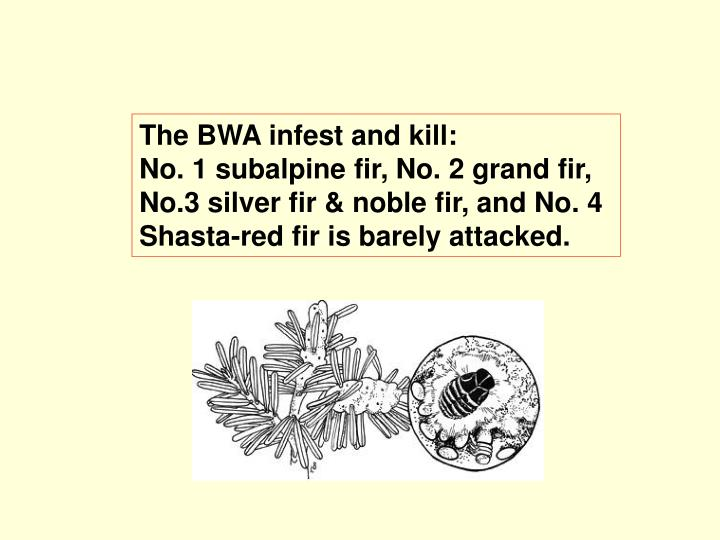 The BWA infest and kill: