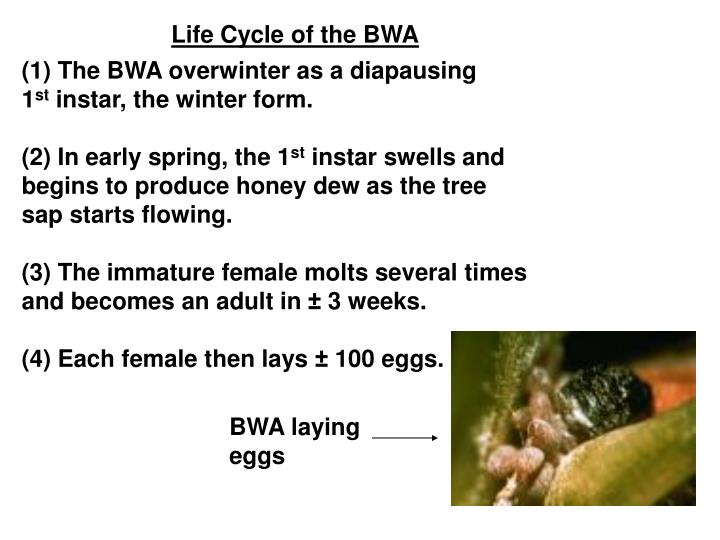 Life Cycle of the BWA