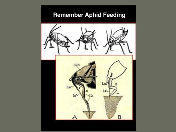 Remember Aphid Feeding