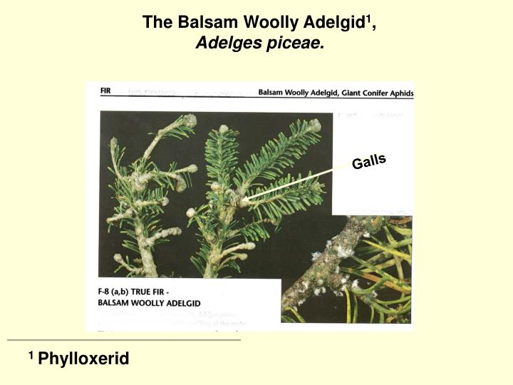 The Balsam Woolly Adelgid