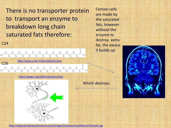 There is no transporter protein to  transport an enzyme to breakdown long chain saturated fats therefore: