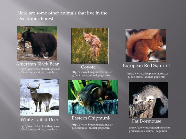 Here are some other animals that live in the Deciduous Forest: