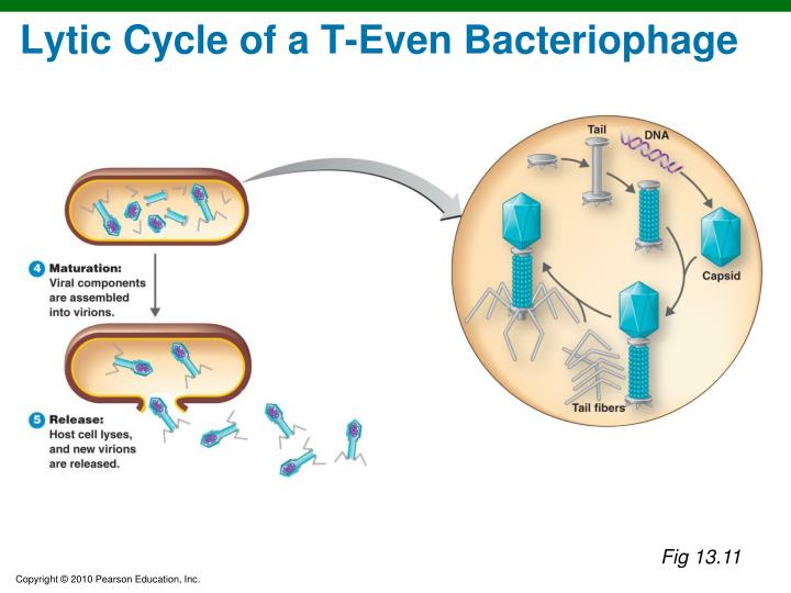 Lytic Cycle of a T-Even Bacteriophage