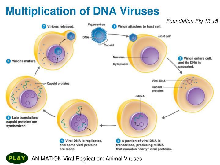 Multiplication of DNA Viruses