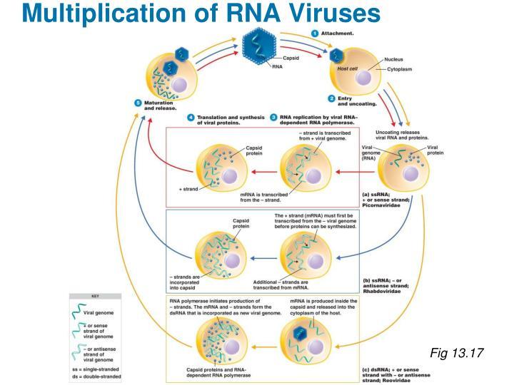 Multiplication of RNA Viruses