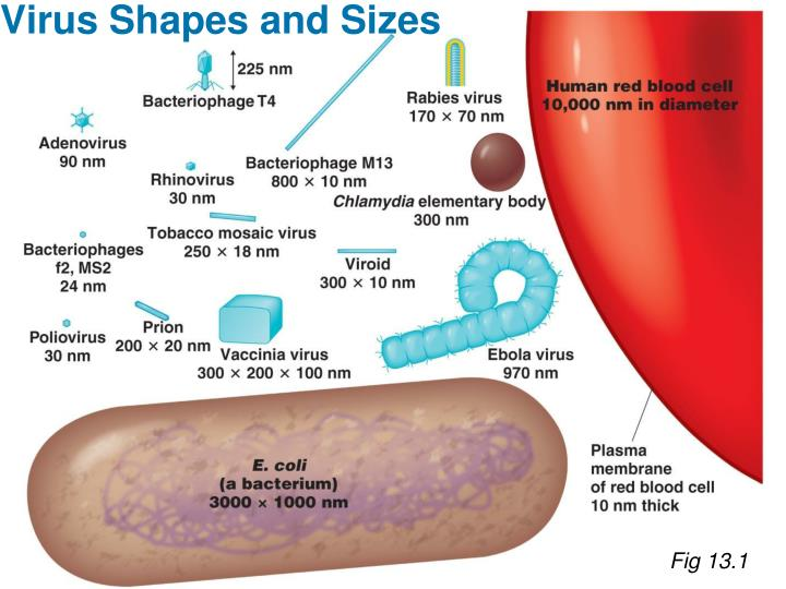 Virus Shapes and Sizes