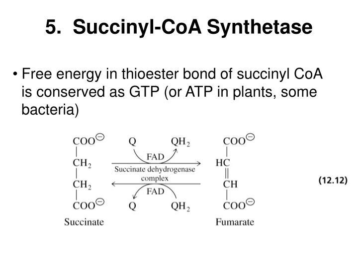 5.  Succinyl-CoA Synthetase