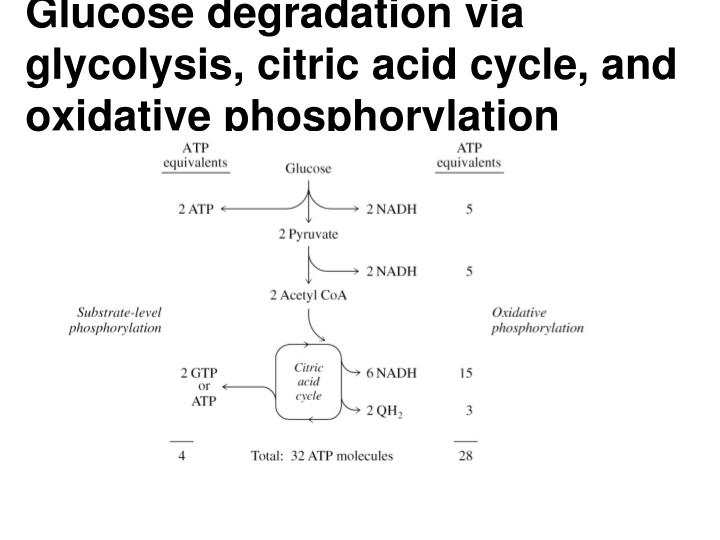 Glucose degradation via glycolysis, citric acid cycle, and oxidative phosphorylation