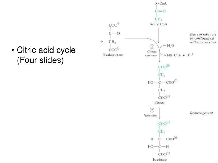 Citric acid cycle (Four slides)