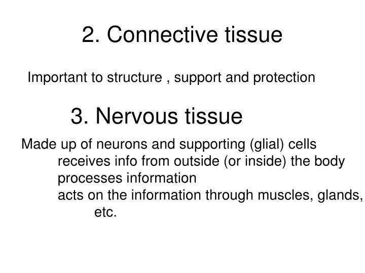 2. Connective tissue