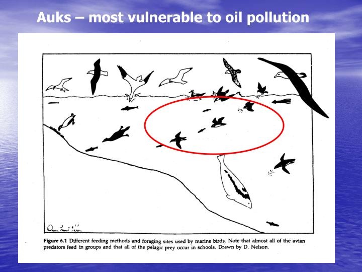 Auks – most vulnerable to oil pollution
