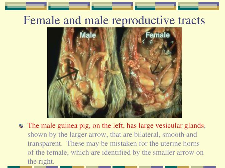Female and male reproductive tracts