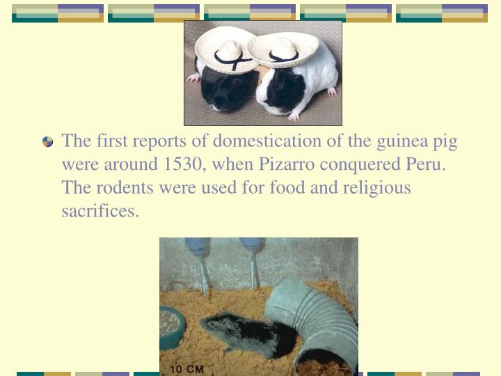 The first reports of domestication of the guinea pig were around 1530, when Pizarro conquered Peru.  The rodents were used for food and religious sacrifices.