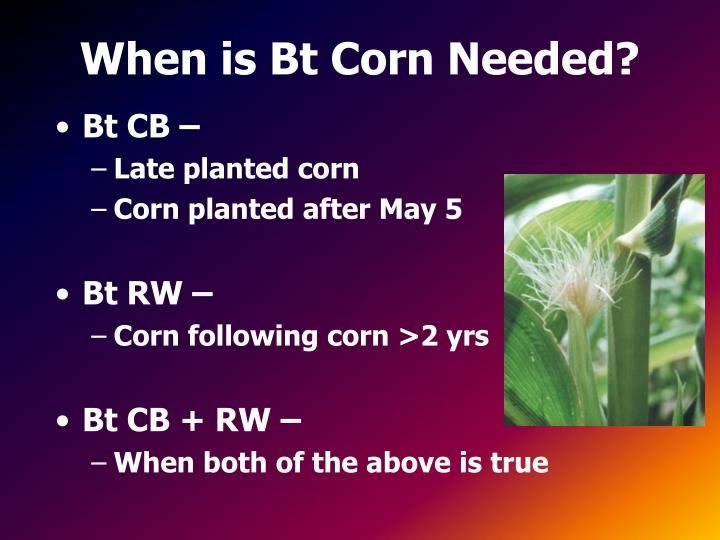 When is Bt Corn Needed?