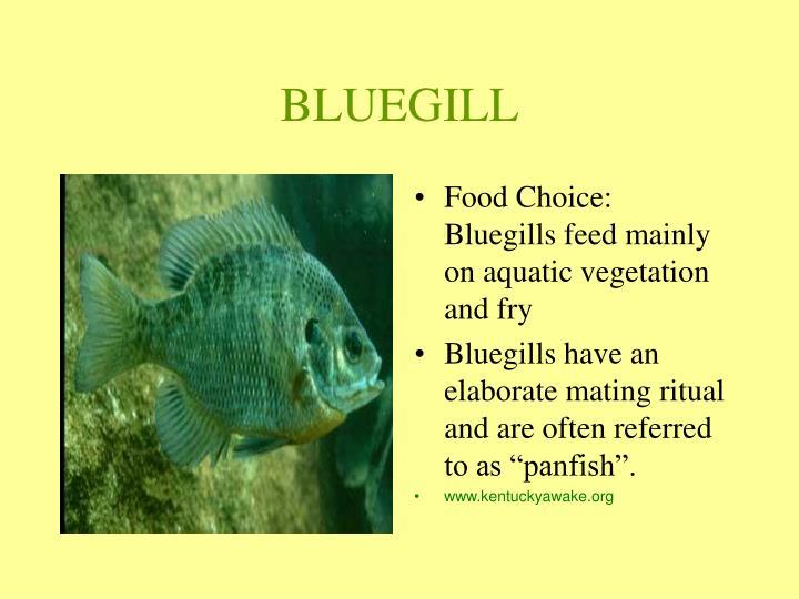BLUEGILL