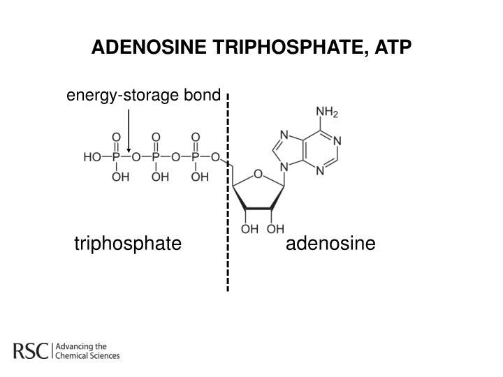 ADENOSINE TRIPHOSPHATE,