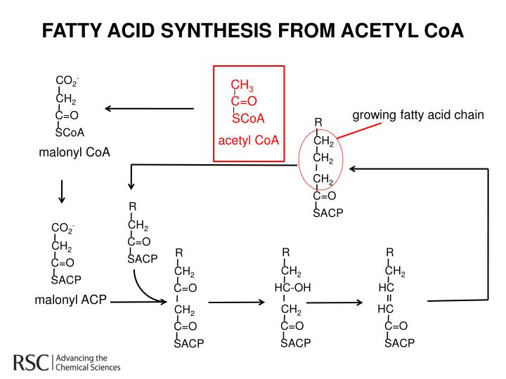 FATTY ACID SYNTHESIS FROM ACETYL
