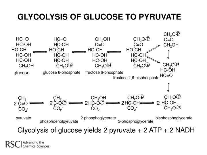 GLYCOLYSIS OF GLUCOSE TO PYRUVATE