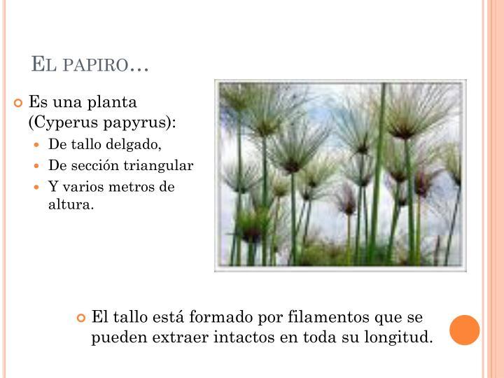 El papiro…