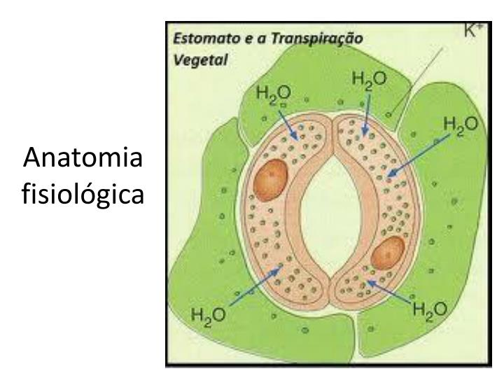 Anatomia fisiológica