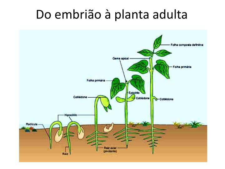 Do embrião à planta adulta