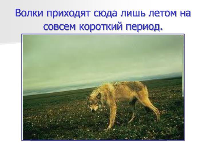 Волки приходят сюда лишь летом на совсем короткий период.