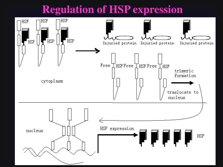 Regulation of HSP expression