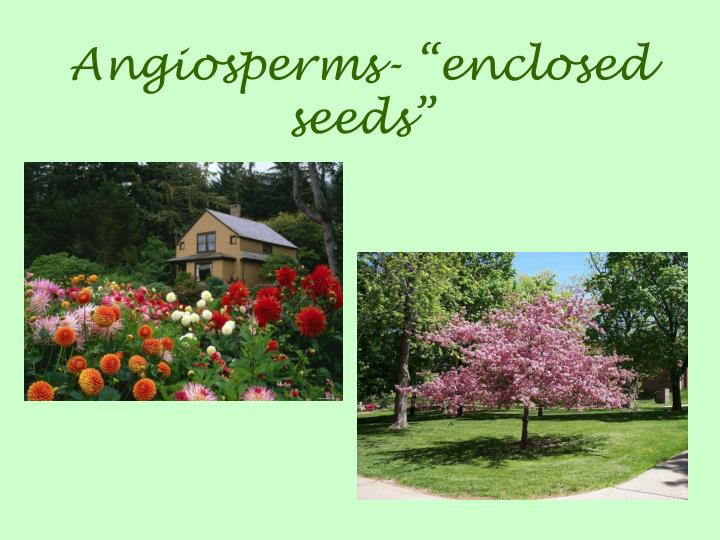 "Angiosperms- ""enclosed seeds"""