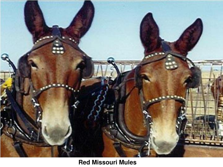 Red Missouri Mules