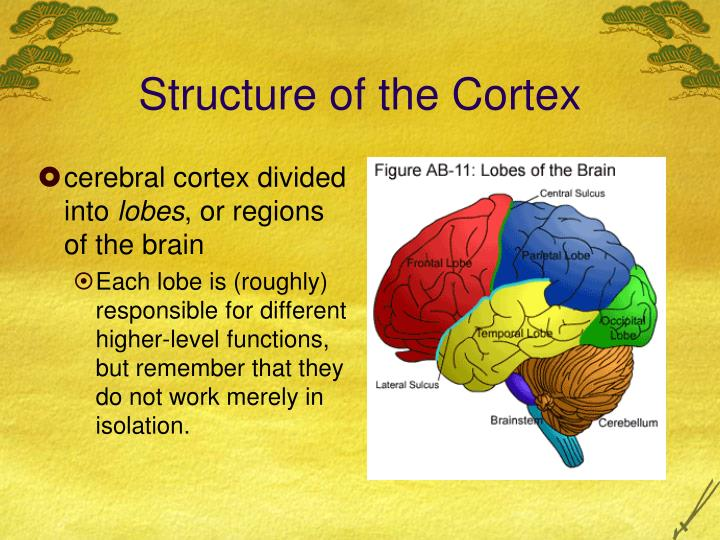 Structure of the Cortex