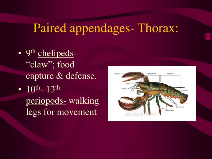 Paired appendages- Thorax:
