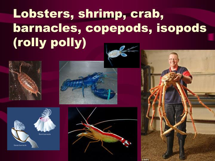 Lobsters, shrimp, crab, barnacles, copepods, isopods (rolly polly)