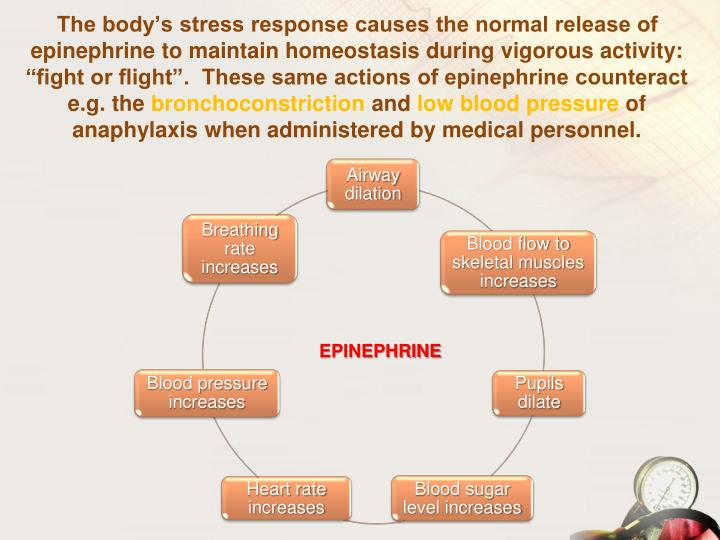 "The body's stress response causes the normal release of epinephrine to maintain homeostasis during vigorous activity: ""fight or flight"".  These same actions of epinephrine counteract e.g. the"