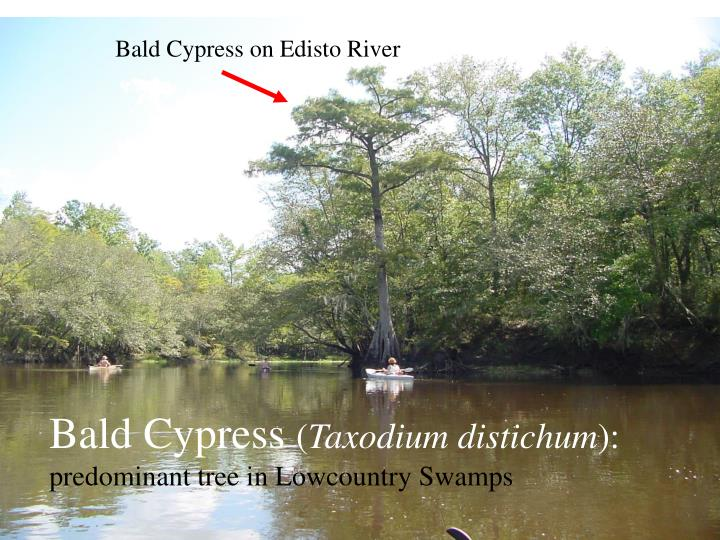 Bald Cypress on Edisto River