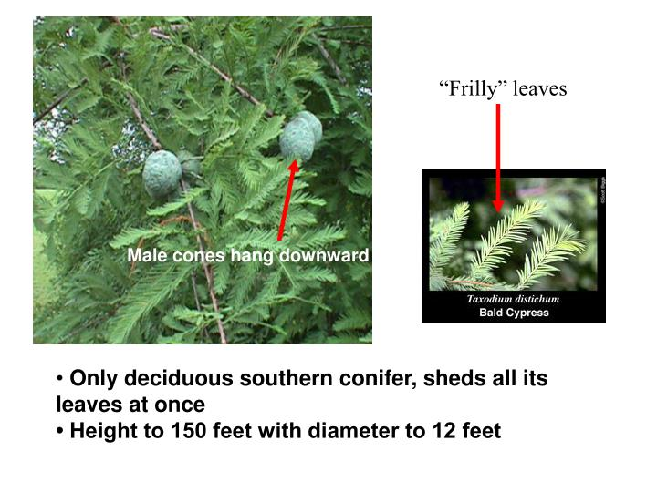 """""""Frilly"""" leaves"""