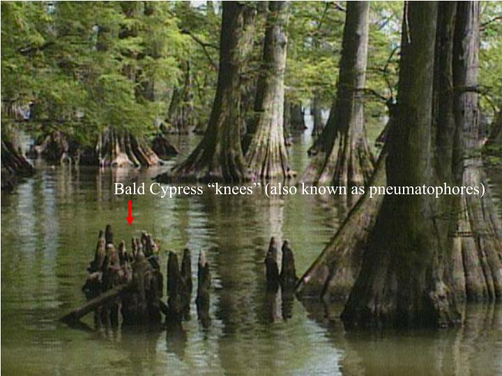 """Bald Cypress """"knees"""" (also known as pneumatophores)"""