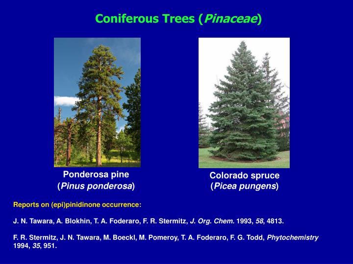 Coniferous Tre