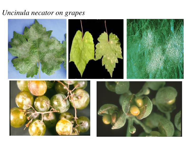 Uncinula necator on grapes