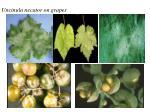 uncinula necator on grapes